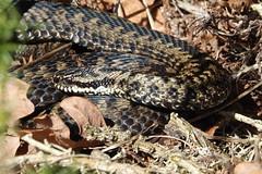Adder (hedgehoggarden1) Tags: snake adder reptile animal creature wildlife sonycybershot norfolk eastanglia uk sony camoflauge