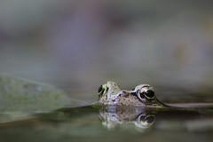 Grasfrosch (Aah-Yeah) Tags: grasfrosch frog frosch rana temporaria froschlurch achental chiemgau bayern