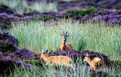Family day out (jamesdewar99) Tags: wildlife roedeer deer summer heather moorland hills colour light nature outdoorphotography canon tamron150600mm