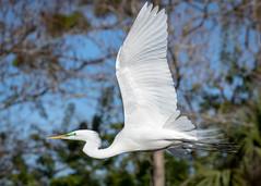 Faster than a speeding Egret (tspine) Tags: gatorland greategret