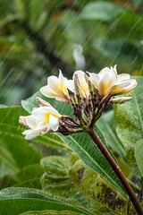 Flower power (A Different Perspective) Tags: bali flower frangipani green heavy leaf rain water wet white yellow