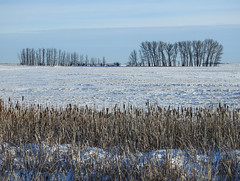 Peace in the countryside (annkelliott) Tags: alberta canada eofcalgary landscape scenery winter trees field cattails sky outdoor 27february2019 nikon p900 nikonp900 coolpix annkelliott anneelliott snow