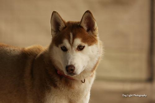 Nikita the Siberian Husky