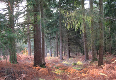 New Forest NP, Hampshire, UK (east med wanderer) Tags: england hampshire uk newforestnationalpark trees pines forest woodland autumn nationalpark