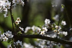 La nature revit (Excalibur67) Tags: nikon d750 sigma globalvision contemporary 100400f563dgoshsmc flowers fleurs nature printemps spring frühling floraison paysage landscape arbres trees