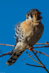 Hanging on (Fred Roe) Tags: nikond7100 nikonafsnikkor200500mm156eed nature naturephotography national wildlife wildlifephotography animals birds birding birdwatching birdwatcher raptor falcon americankestrel falcosparverius colors outside flickr peacevalleypark