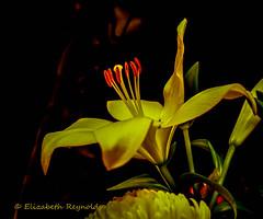 Day 2. (lizzieisdizzy) Tags: lily lilium liliumlongiflorumflower–1stigmastylestamens filamenttepal rhyzome summerflowering fragrant flower beautiful tall statuesque