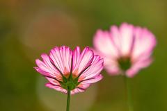 Cosmos (mclcbooks) Tags: flower flowers floral macro closeup cosmos denverbotanicgardens colorado summer