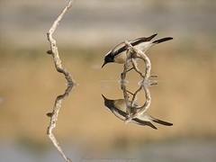 That perfect reflection... (Moving Iris) Tags: birdreflection birdphotography bird birdsofflickr birdsofindia birding birdwatching naturephotography nature nikkor200500vr nikonwildlife nikonindia nikonbirding nikond500