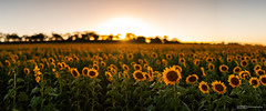 Sunflowers Pano (tony.liu.photography) Tags: sunflowers flowers landscape 50mm nature sun sunset queensland australia canon 5d4 sigma art
