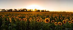 Sunflowers Pano (tony.liu.photography) Tags: sunflowers flowers landscape 50mm nature sun sunset queensland australia canon 5d4 sigma art