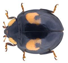 Harmonia axyridis (Pallas, 177) (urjsa) Tags: coleoptera käfer insect coccinellidae harmonia axyridis harmoniaaxyridis taxonomy:family=coccinellidae taxonomy:genus=harmonia taxonomy:species=axyridis taxonomy:binomial=harmoniaaxyridis england britain europe geo:country=england coleopteraus kaefer insekt europa
