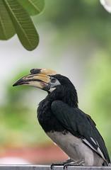 Hornbill! (Tom Helleboe) Tags: singapore nature wildlife birds hornbill