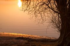 Am Rhein geht die Sonne unter (KaAuenwasser) Tags: sonnenuntergang sonne fluss rhein wasser ufer natur sand spiegelung baum gelb rand