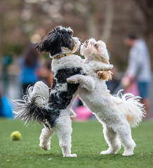 Are we really going to dance?  Or just poodle around, here? - 2019-03-10_19 (Paul and Nalva) Tags: nx500 samsungnx500 samsungnx85mmf14 dog annalee2019