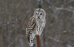 Barred Owl (hd.niel) Tags: barredowl owls wildlife nature snowing cloudy ontario phootography hunting raptor voles birds