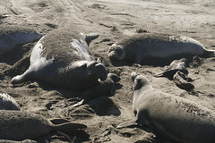The Family (ivlys) Tags: usa california sansiemon piedrasblancas elephantsealrookery tier strand beach sand natur nature ivlys elephantseal