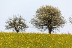 Frühlingsbaum (Bernhard Schlor) Tags: niederösterreich country baum österreich europa austria tree pflanzen europe natur mauerbach autriche nö loweraustria frühling primavera printemps jahreszeiten seasons spring springtime