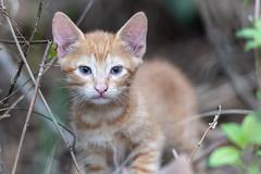 Cuba Varadero Kitten-1 (jdl1963) Tags: cuba varadero travel kitten wild cat ginger