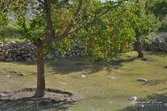 Verger et abricotiers dans le village de Passu © Bernard Grua (Photos de voyages, d'expéditions et de reportages) Tags: tupodan passucones glacier karakoram montagne hunza gojal bernardgrua passu gilgitbaltistan pakistan