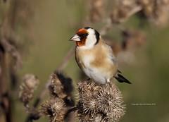 Goldfinch (Alan McCluskie) Tags: cardueliscarduelis chardonneretelégant goldfinch finches birds oiseaux aves feathers nature wildlife