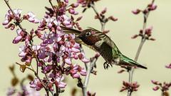 Anna's Hummingbird (Bob Gunderson) Tags: annashummingbird birds california calypteanna contracostacounty contralomaregionalpark eastbay hummingbirds northerncalifornia cercis redbuds