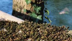 Blick zur Isar München (Chridage) Tags: isar ente efeu moos baum tree duck ivy münchen munich moss