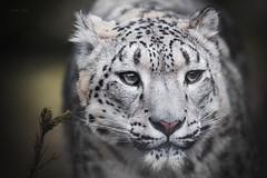 Snow leopard (Soren Wolf) Tags: animal animals snow leopard leopards big cat cats lick licks nose nikon d610 300mm beautiful eyes eye close closeup portrait