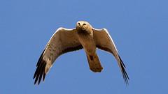 Northern Harrier (Gary R Rogers) Tags: bird northernharrier marshhawk flight hawk sky