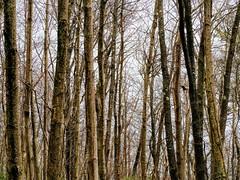 Tall Trees (pmorris73) Tags: midstatetrail pinegrovemills pennsylvania century 2ca2519 3ca2619 4ca3019 5cb1019 6cb2619 7cc0219 c 8cc0619