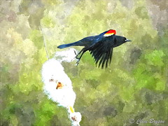 Red-winged blackbird (fotosketcher) (clive_bryson) Tags: redwingedblackbird watercolor britishcolumbia canada clivebryson