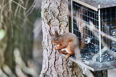 Red squirrel (Baz2016) Tags: redsquirrel nuts feeding nature wildlife woods squirrel