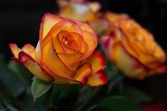 The flames of love - Die Flammen der Liebe (ralfkai41) Tags: rose plant macro pflanze blossom blüte blume nature flower natur makro bokeh