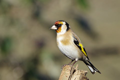 K32P5799c Goldfinch, Lackford Lakes, February 2019 (bobchappell55) Tags: lackfordlakes suffolk wild wildlife nature bird goldficnh cardueliscarduelis