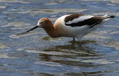 American Avocet (fethers1) Tags: belmarpark kountzelake shorebird bird coloradowildlife americanavocet