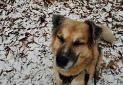 4/52 snow (frau_k) Tags: candor k 52weeksfordogs19 snow