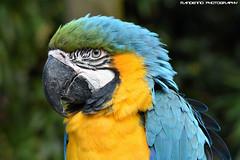 Blue-yellow macaw (Mandenno photography) Tags: animal animals dierenpark dierentuin ngc nature nederland netherlands bird birds zoo macaw blueyellow deoliemeulen oliemeulen tilburg
