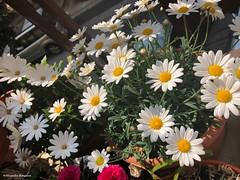 mes-marguerites®© (alexandrarougeron) Tags: photo alexandra rougeron flickr fleurs nature plante végétal végétale ville beauté couleur frais
