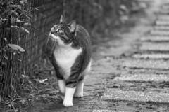 Promenade (sdupimages) Tags: composition animal pet noirblanc noiretblanc blackwhite bokeh monochrome mbt hmbt chat cat bw nb
