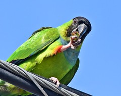 Eating a flower (dina j) Tags: floridawildlife floridabirds florida bird wildlife parrot parakeet blackhoodedparakeet nandayparakeet nature outdoors fortdesoto nikon nikond7200