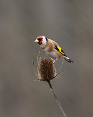 And then it rained harder! (susie2778) Tags: millerswood mft johnstantonphotography johnstantonphotographycouk johnstantonphotohides birdhide olympus omdem1mkii olympusm300mmf40 olympusuk goldfinch