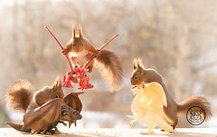 red squirrels sitting on dragons (Geert Weggen) Tags: dragon red squirrel air animal animals attacking back bird bright built castle closeup cute fly game high humor journey leaving shout openmouth sing gameofthrones fire scary fear egg bispgården jämtland sweden geert weggen hardeko ragunda