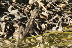 Jacky Dragon, Fassifern, 15th March, 2007. (garratt3) Tags: reptile lizard dragon aus australia newsouthwales nsw