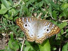 P1210786  White Peacock (birder2015 Toronto, Canada) Tags: whitepeacock butterfly mariposa lepidoptera insect holguincuba