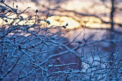 Sunrise (Stefano Rugolo) Tags: stefanorugolo pentax k5 pentaxk5 kmount smcpentaxm50mmf17 ricoh sunrise winter impression bokeh depthoffield rosacanina sky branches tree barn snow abstract manualfocuslens manualfocus manual vintagelens countryside sweden sverige hälsingland