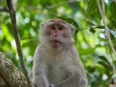 Macaque, Langkawi, Malaysia (davidpetergibbins) Tags: