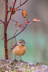 Female StoneChat (Armin Kerstholt) Tags: wild wildlife wing wood water brown early european beak feather perched perch stonechat nature little photograph photography portugal image bird nikon birdhide algarve d500 branch
