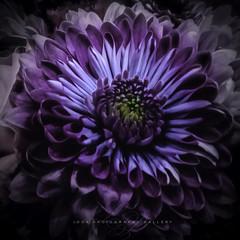 Purple Love (Beth Crawford 65) Tags: flora flower flowers petals macro closeup purple romance spirituality emotive delicate beauty gentle bethcrawford lookphotographygallery photogirlbeth peace love soft lighting dreamy