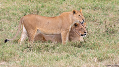 Watch Out (Digital Rebels) Tags: ngorongorocrater africa tanzania wwwphototourtrekkerscom lion watch hunt safari