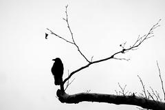 Corvus comix (Sebastian Pier Filip) Tags: panasonic tz200 zs200 bird blackandwhite silhouette monochrome sofia bulgaria corvus branch tree zoom 360mm compact pointandshoot 1inchsensor